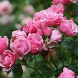 Sadzenie róż