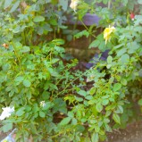 Rośliny pnące do małego ogródka dla początkujących