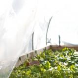 Uprawa warzyw pod osłoną