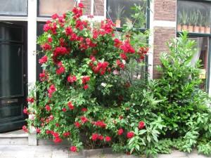 róże oparte o ścianę