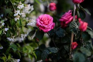 roses-1373441_1280