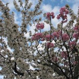 W szczelinę i wieniec, czyli szczepienie drzew i krzewów